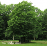 Delville Wood Memorial Hornbean tree