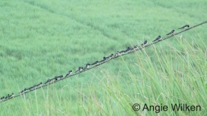 Barn Swallows on a wire Angie Wilken